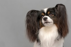 Papillon dog (Continental Toy Spaniel). Portrait on gray background.Space for text