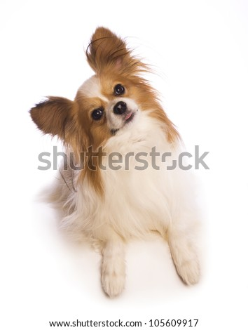 Papillon dog head cocked to the side isolated on white background
