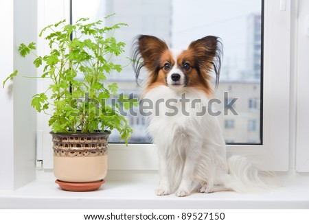 Papillon dog sitting on a plastic windowsill