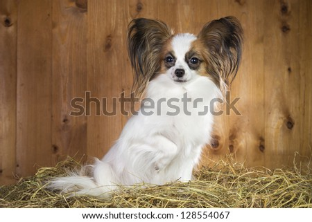 Papillon dog sitting on a straw on a background of wooden boards