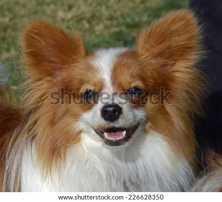 Papillon Dog Smiling Facing Forward