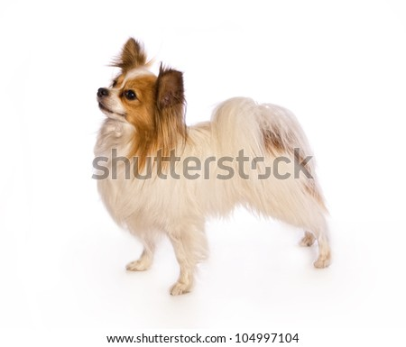 Papillon dog standing side view isolated on white background