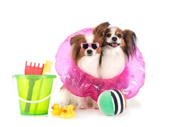 papillon dogs in front of white background