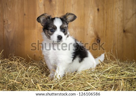 Papillon puppy sitting on a straw on a background of wooden boards
