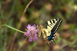 Papilon Machaon. Common Yellow or Oldworld Swallowtail