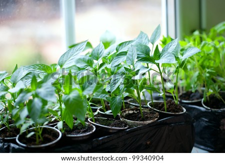 paprika plants in pots on window sill