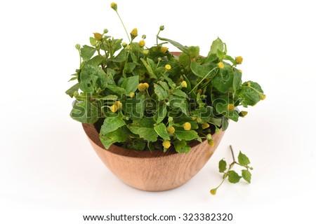Para cress, Tooth-ache Plant. (Spilanthes acmella (L.) Murray.). Foto stock ©