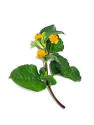 Para cress, Tooth-ache plant, Toothache plant, Brazil cress toothache plant, Pellitary, Spot flower. (Scientific name Acmella oleracea)