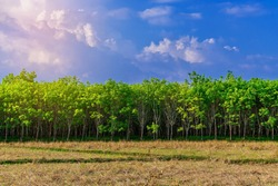 Para rubber tree in rice field, latex rubber plantation and tree rubber in southern Thailand