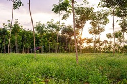 Para rubber tree, latex rubber plantation and tree rubber garden in southern Thailand