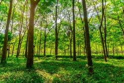 Para rubber tree, latex rubber plantation and tree rubber in southern Thailand