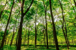 Para rubber tree, latex rubber plantation and tree rubber with sunbeam in southern Thailand
