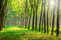 Para rubber tree, latex rubber plantation tree rubber in southern Thailand