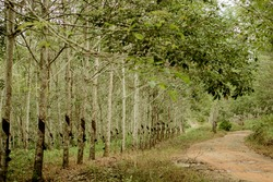 Para Rubber Tree Plantation at Nusantara Batulicin in Central Borneo. This Photo with Blurred Background.