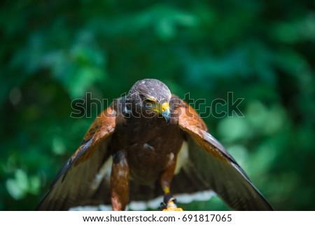 Shutterstock Parabuteo unicinctus - Harris's hawk - Buzzard of Harris.