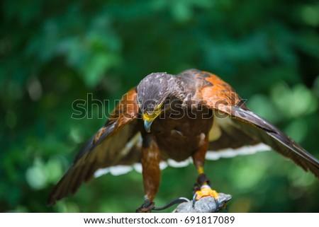 Shutterstock Parabuteo unicinctus - Harris's hawk - Buzzard of Harris on the falconer's glove.