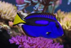 Paracanthurus hepatus marine fish