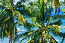 paradise beach, vacation trip under palm trees and sun, coconut tree