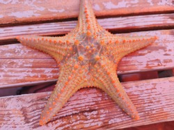 paradise fish star from Indian ocean