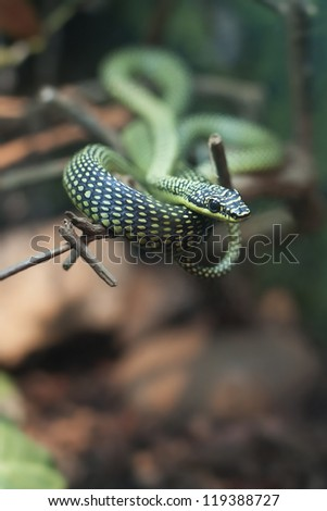 """Paradise Tree snake. Also called """"flying snake"""", is able to fly from tree to tree by flattening the body into a U shape while undulating the body"""