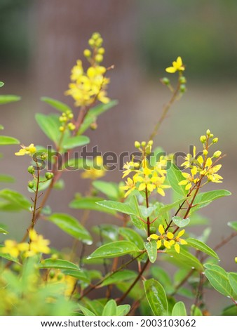 Paraguayan Silver Trumpet Tree, Silver Trumpet Tree, Tree of Gold, Tabebuia argentea Britton, Bignoniaceae yellow flower blooming tree in garden on nature background Stockfoto ©