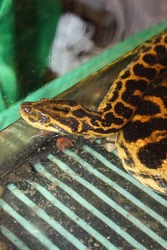 Paraguayan yellow anaconda in the water.  Beautiful reptile in terrarium.  International Snake Day, July 16th. Concept of pet reptiles. International Reptile Day.