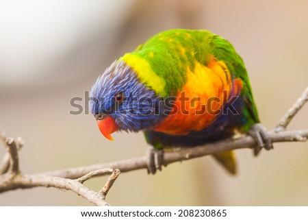 Parakeet bird on a branch watching over.  The Lorikeet bird is very colourful and is an Australian native bird.