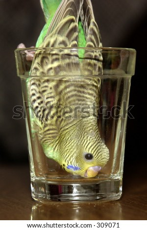 Parakeet inside of glass