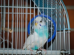 Parakeet posing for in a metal caged
