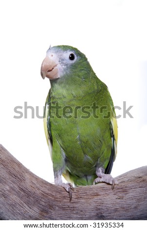 Parakeet, White Winged, Brotogeris versicolurus, Colombia, Ecuador, Peru, Bel?m, Mexiana Island, French Guiana, Puerto Rico, isolated on white Foto stock ©