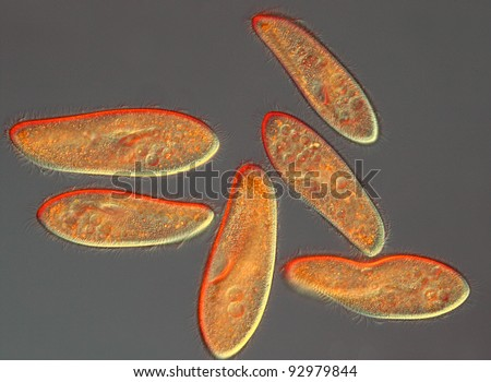 Paramecium caudatum differential interference contrast DIC with lambda - stock photo