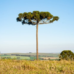 Paraná pine, Brazilian pine, or candelabra tree (Araucaria angustifolia) in a open field with a Southern crested caracara (Caracara plancus), carcará