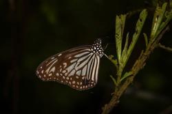 Parantica aglea, Glassy Tiger, India