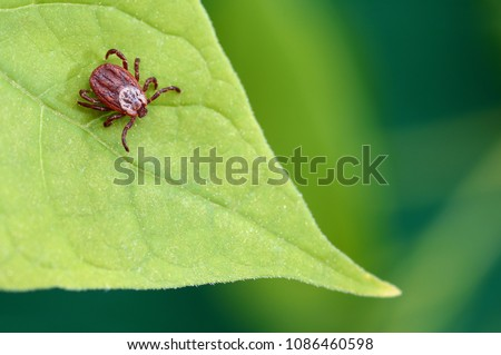 parasite mite sitting on a...