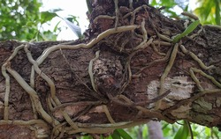 parasite plant growing on a healthy forest tree branch covered by its white thick roots for surviving. horizontal closeup side view.