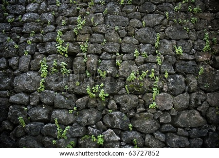 parasite plant on stone wall