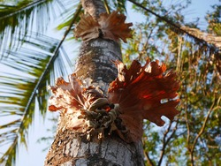 Parasite that is perched on a coconut tree.