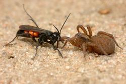 Parasitic wasp Anoplius viaticus with captured wolf spider Trochosa