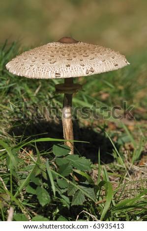 Parasol Mushroom - Macrolepiota procera