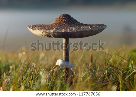 Parasol Mushroom - Macrolepiota procera. Shallow depth of field photo.