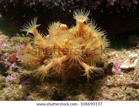 Parazoanthus axinellae, Yellow Cluster Anemone #108690137