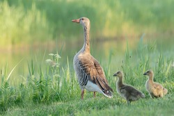 Parent greylag geese out with their young goslings. Goose with goslings standing on grass