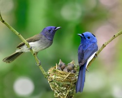 Parents of Black-naped Monarch or Blue Flycatcher, the beautiful blue birds guarding their chicks in the nest while feeding season