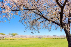Park in the riverside where a cherry tree blooms