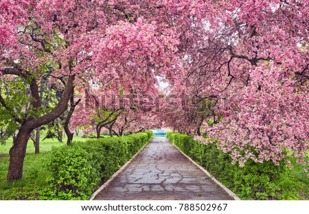 Stock Photo Park with alley of blossoming red apple trees. Spring landscape