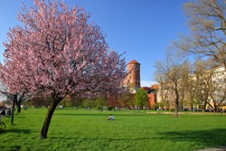 Park with beautiful blooming tree with pink flowers, green grass, other trees, people sit on gound, walk, in background krakow castle, Poland,  and other building, blue sky