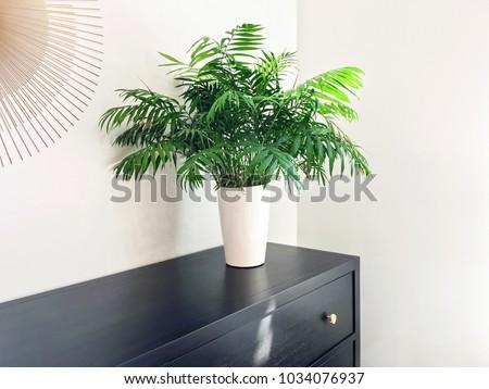 Parlor palm plant decorating black wooden dresser. Modern home decor. #1034076937