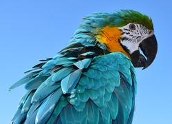 Parrot. Beautiful Blue and Gold Macaw Feathers