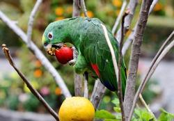 Parrot eating fruit