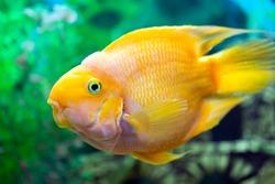 Parrot fish closeup